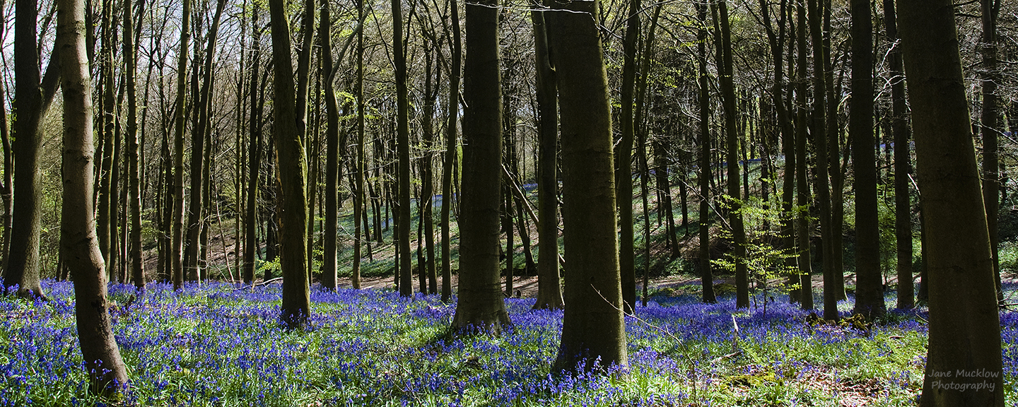 Photo by Jane Mucklow of a bluebell wood, available as a canvas for your wall.