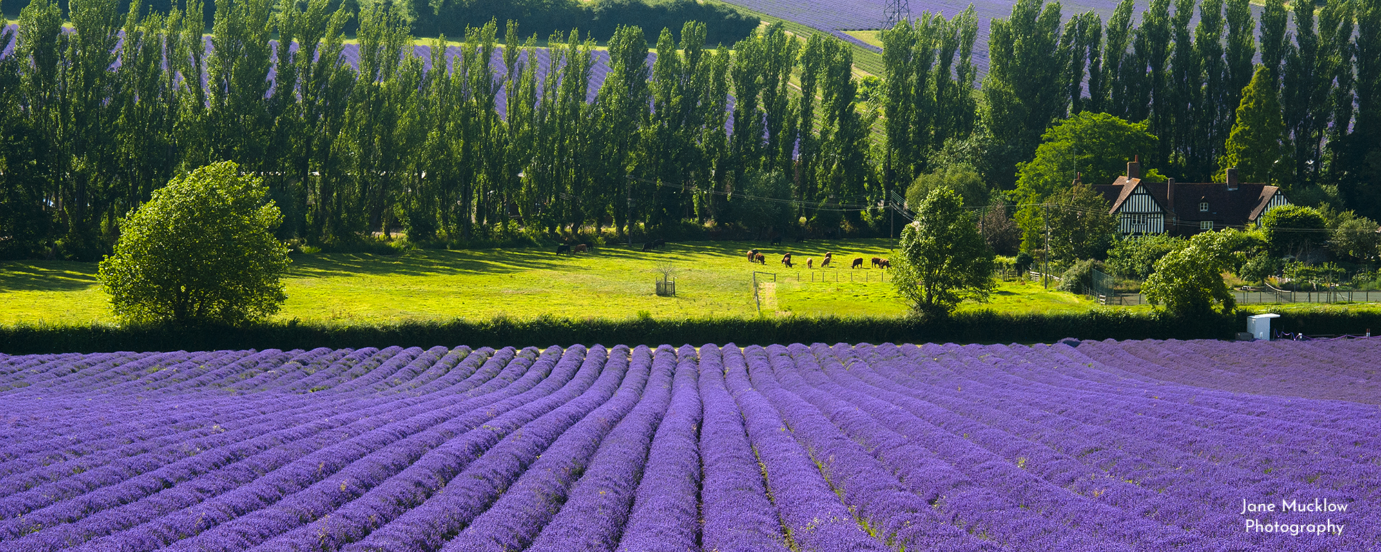 Photo by Jane Mucklow of the lavender fields and cows at Castle Farm, available as a canvas for your wall.