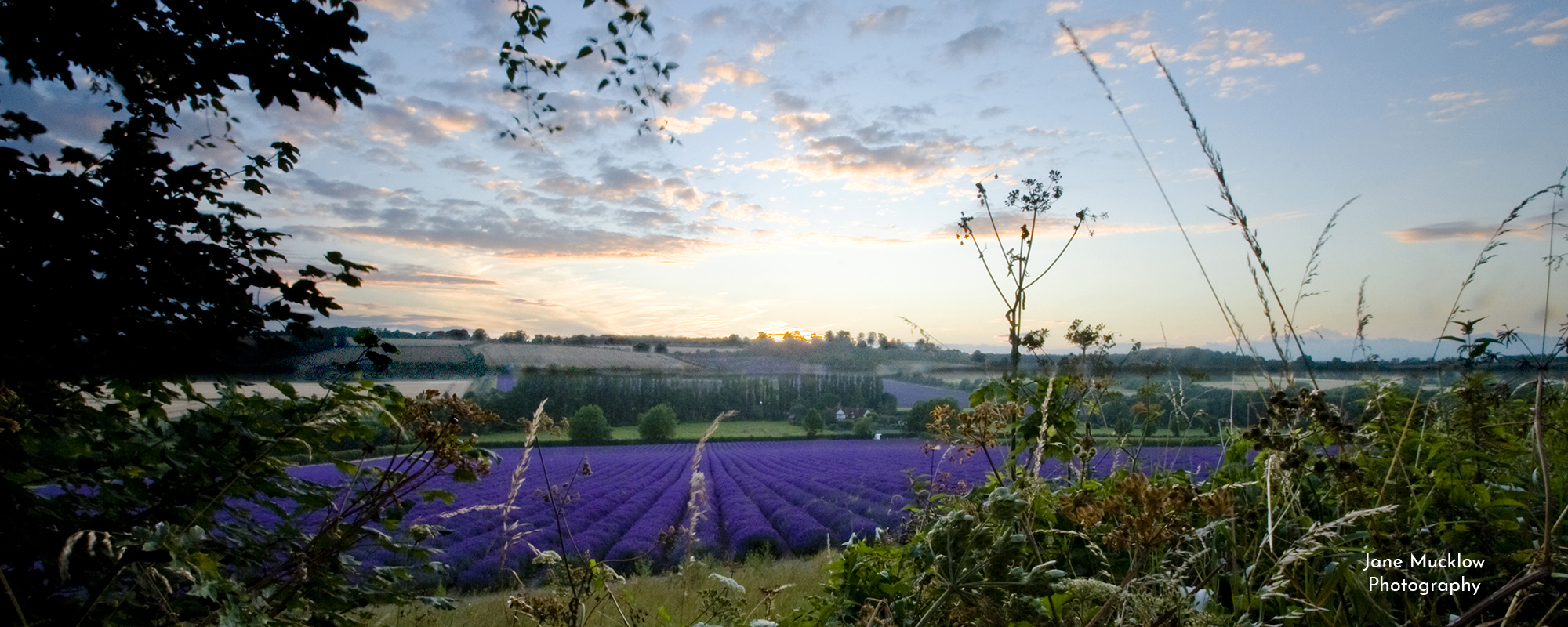 Photo by Jane Mucklow of Castle Farm lavender fields at sunset, Shoreham Kent, available as a canvas for your wall.