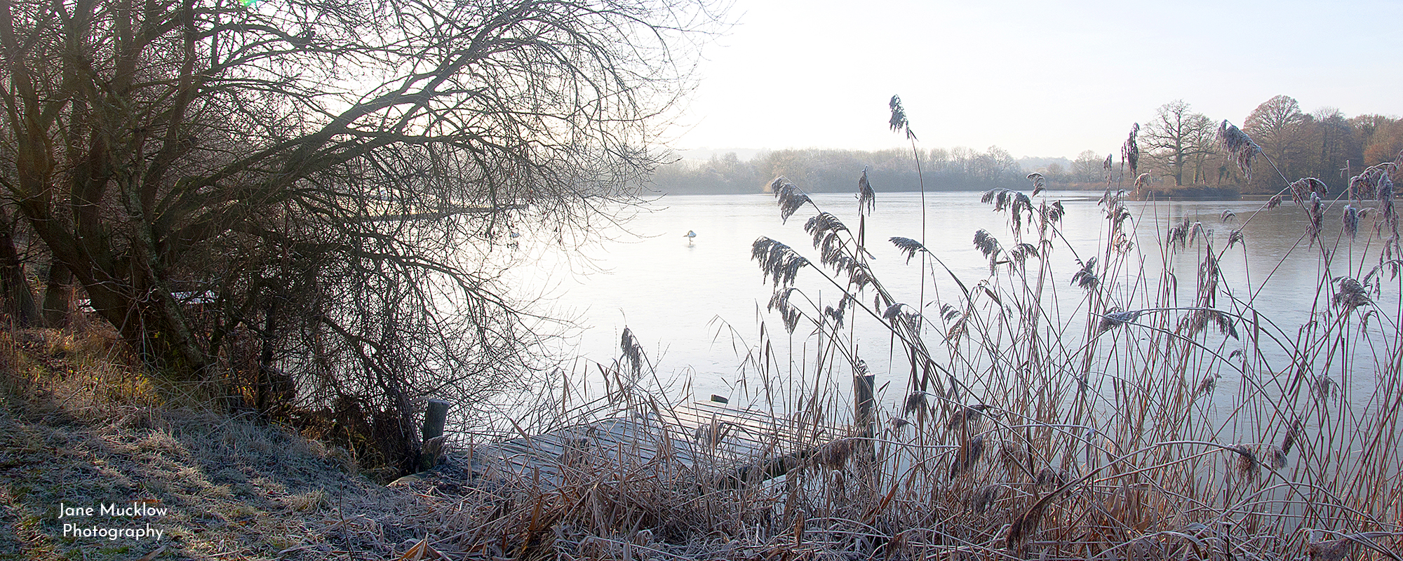 Photo by Jane Mucklow of a swan on the ice on Haysden Lake, frosty morning, in Tonbridge, Kent, available as a canvas for your wall.