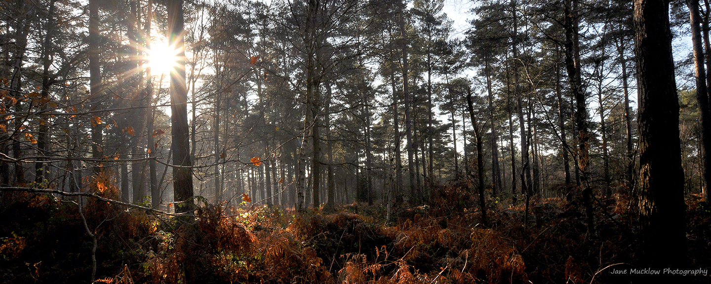 Photo by Jane Mucklow of an Autumnal forest with the sun shining through, available as a canvas for your wall.