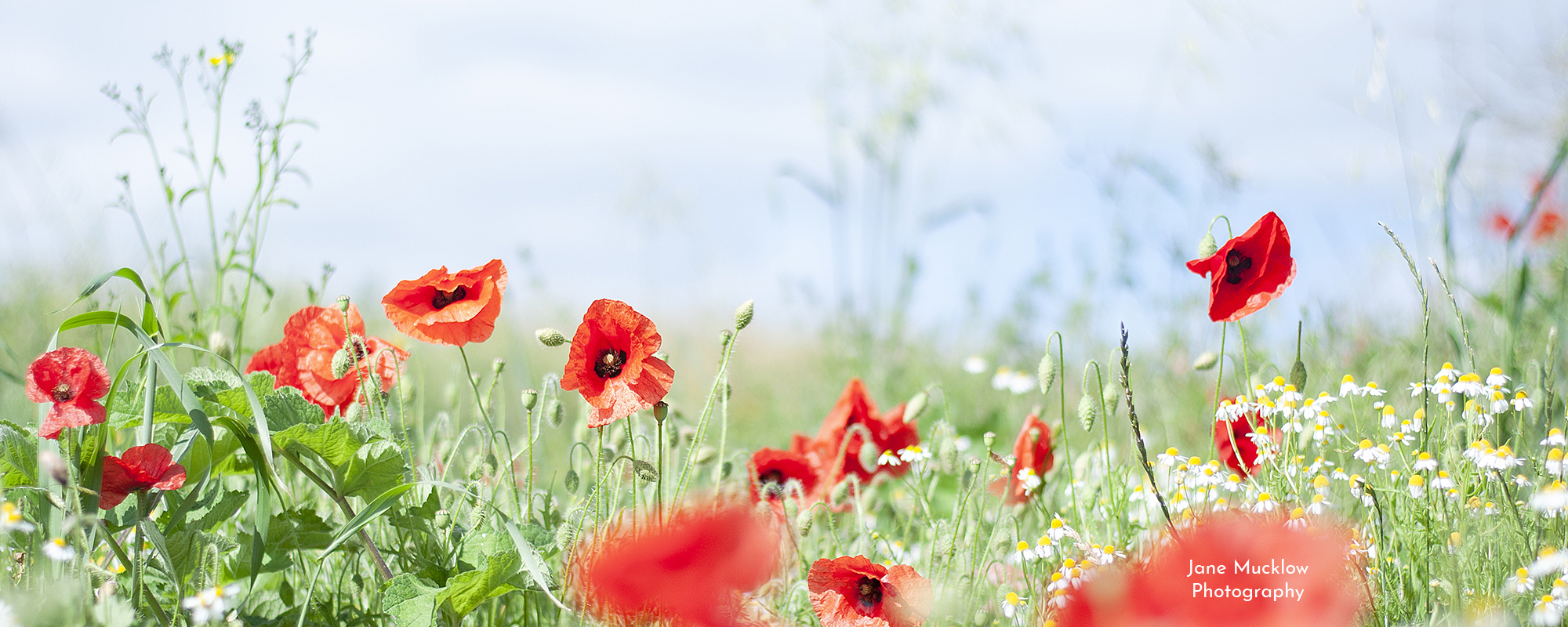 Photo by Jane Mucklow of poppies and wild chamomile, available as a canvas for your wall.