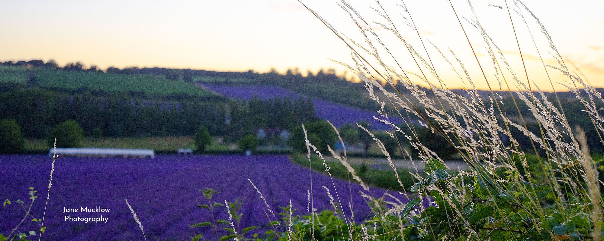 Photo by Jane Mucklow of sunset and grasses view across the lavender farm, Shoreham, Kent, available as a canvas for your wall.