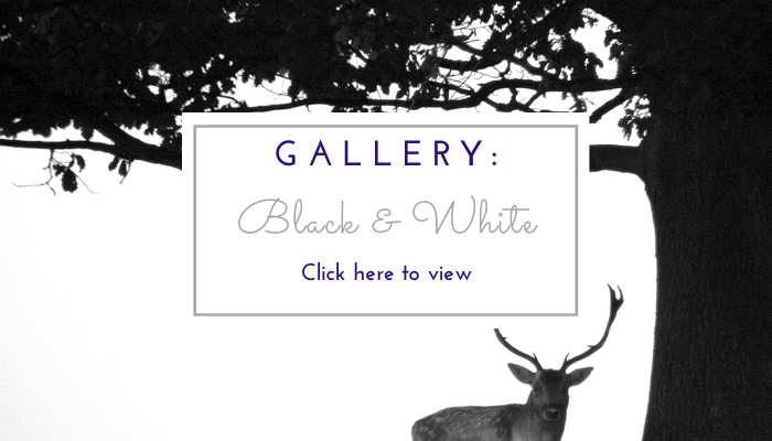 Photo by Jane Mucklow of a stag and tree, website page button for the black and white photo gallery