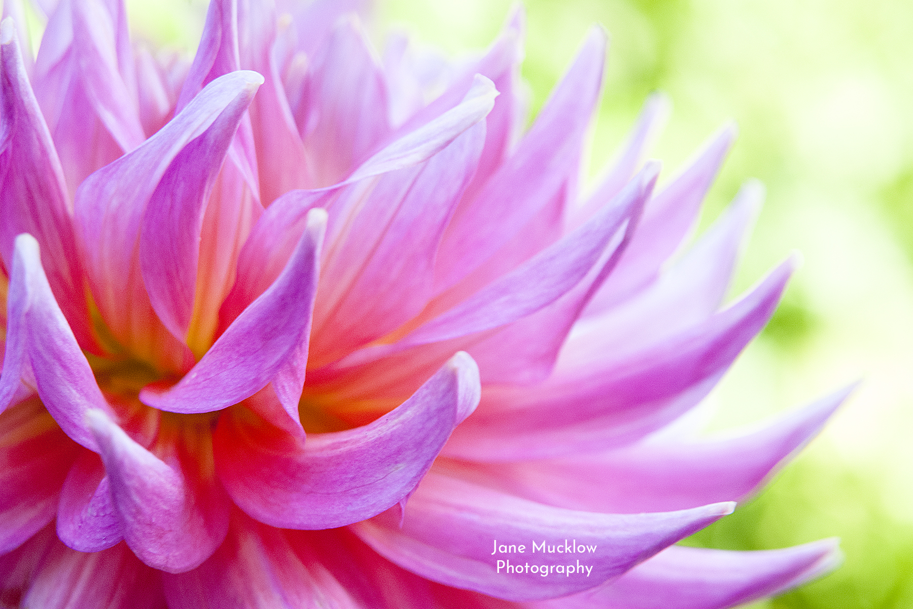 Photo of a dahlia flower by Jane Mucklow