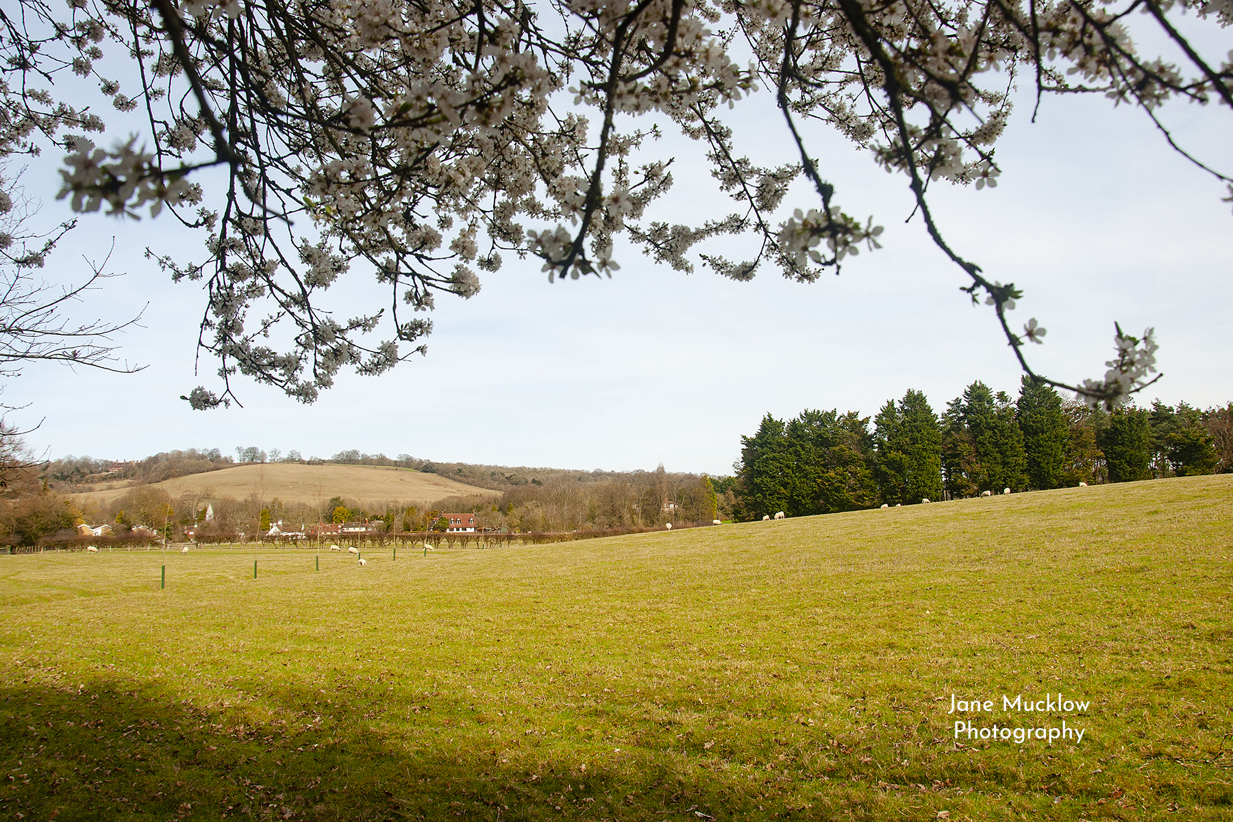 Photo by Jane Mucklow of spring blossom and sheep field view to Kemsing, Kent.