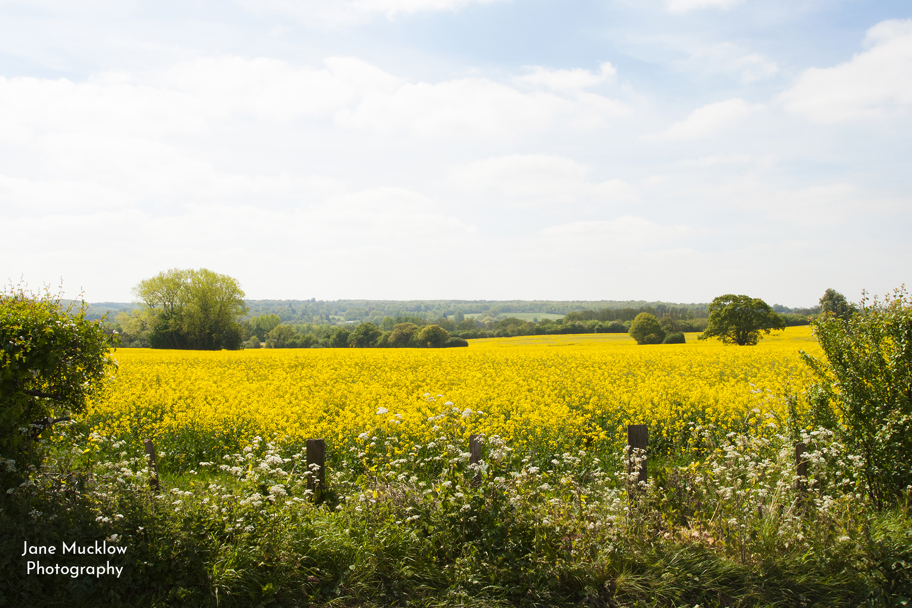 Photo by Jane Mucklow of the oilseed rape fields between Heaverham and Kemsing.