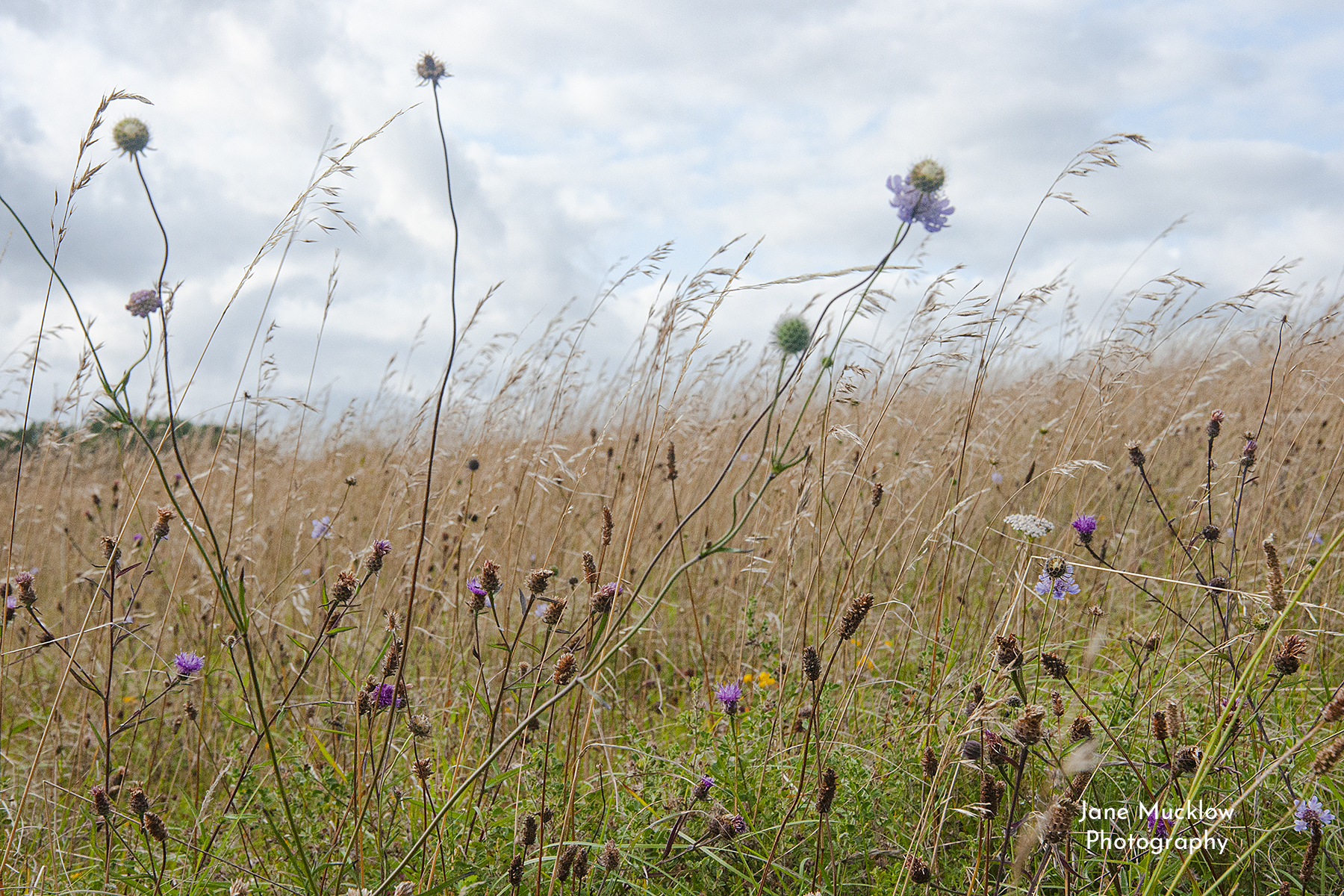 Photo by Jane Mucklow of wildflowers on Kemsing Downs, Kent.