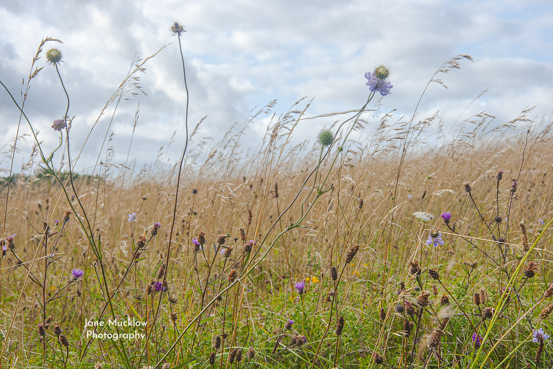 Photo of wildflowers on Kemsing Downs, Kent, by Jane Mucklow