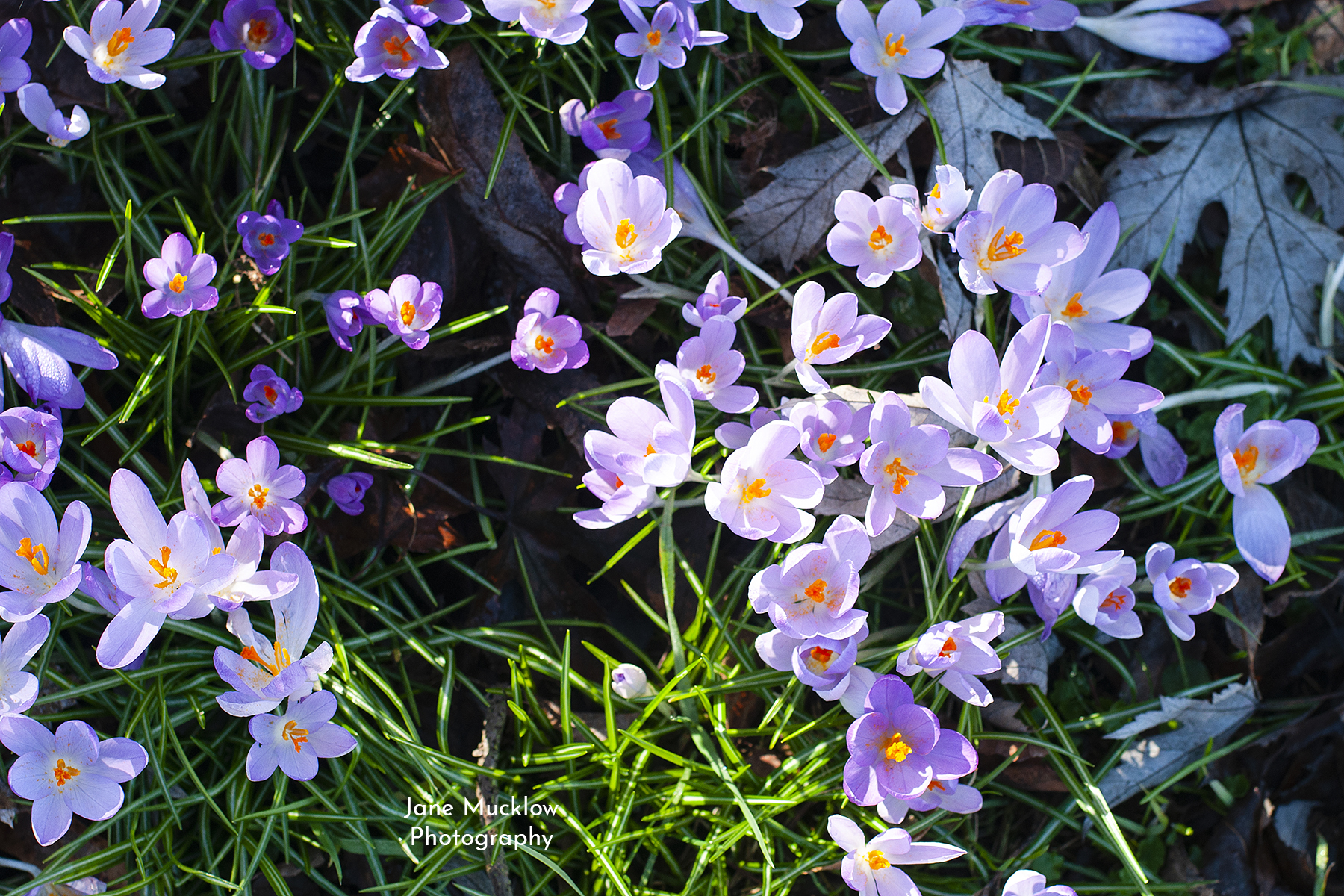 Photo of purple crocus by Jane Mucklow