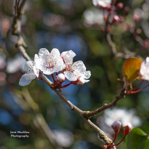 Photo by Jane Mucklow of early cherry blossom, cover of the 2021 Fabulous Flowers calendar.