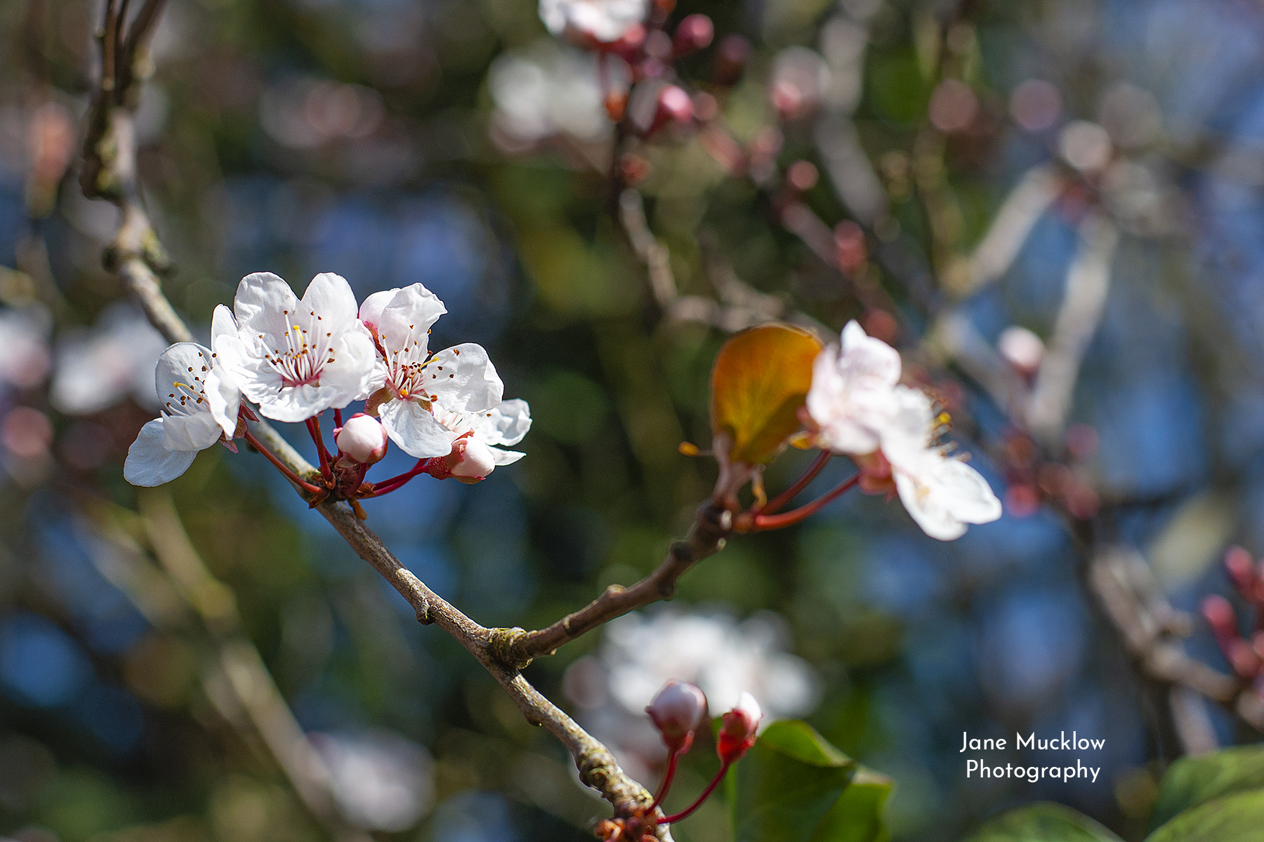 Photo of early flowering cherry blossom, by Jane Mucklow