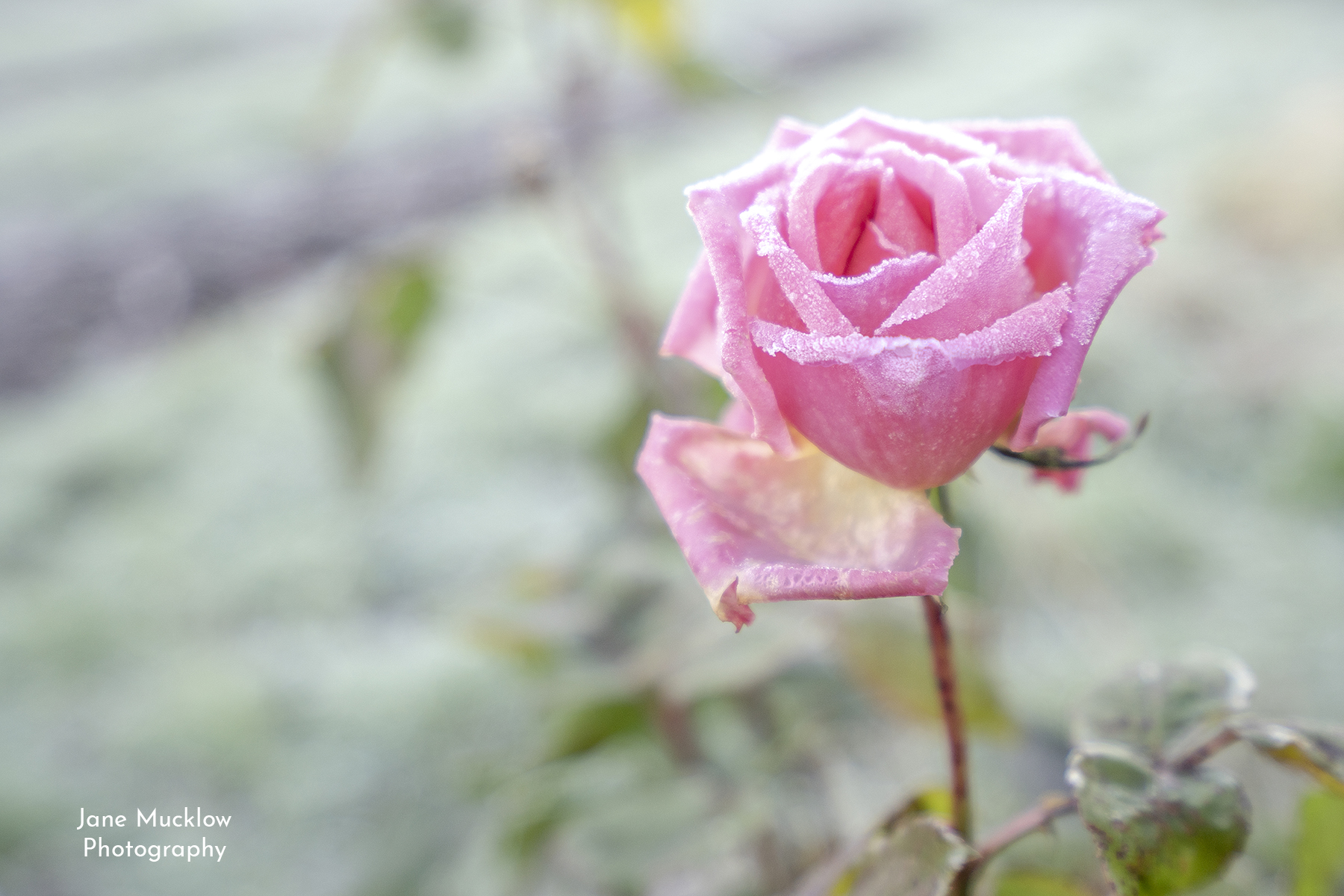 Photo of a frosty pink rose by Jane Mucklow