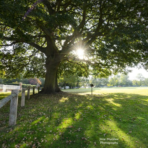 Photo by Jane Mucklow of the morning sun shining through the big oak tree on Sevenoaks Vine, cover of the 2021 Sevenoaks Calendar.