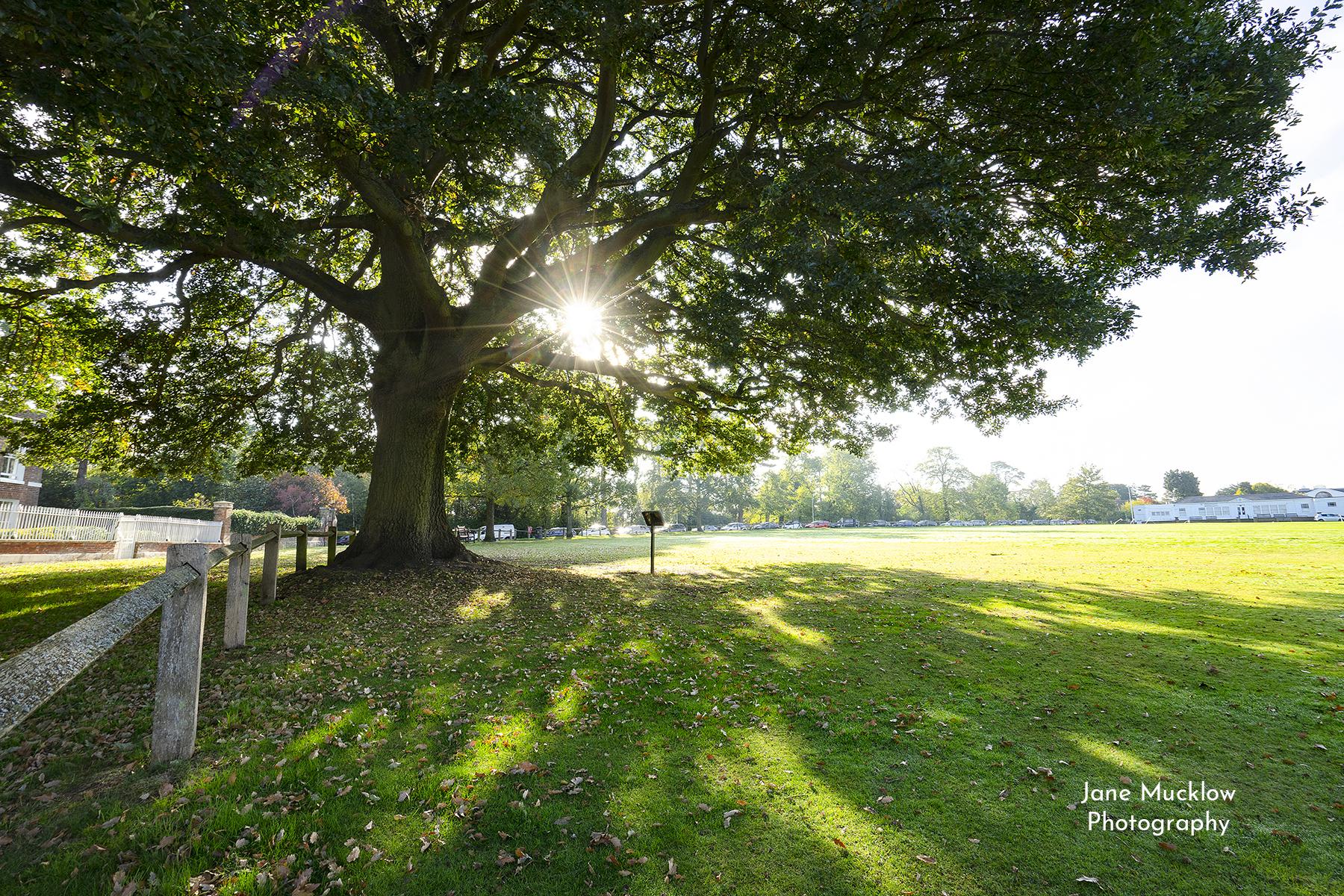 Photo by Jane Mucklow of the morning sun shining through the big oak tree on Sevenoaks Vine, Sevenoaks, Kent.