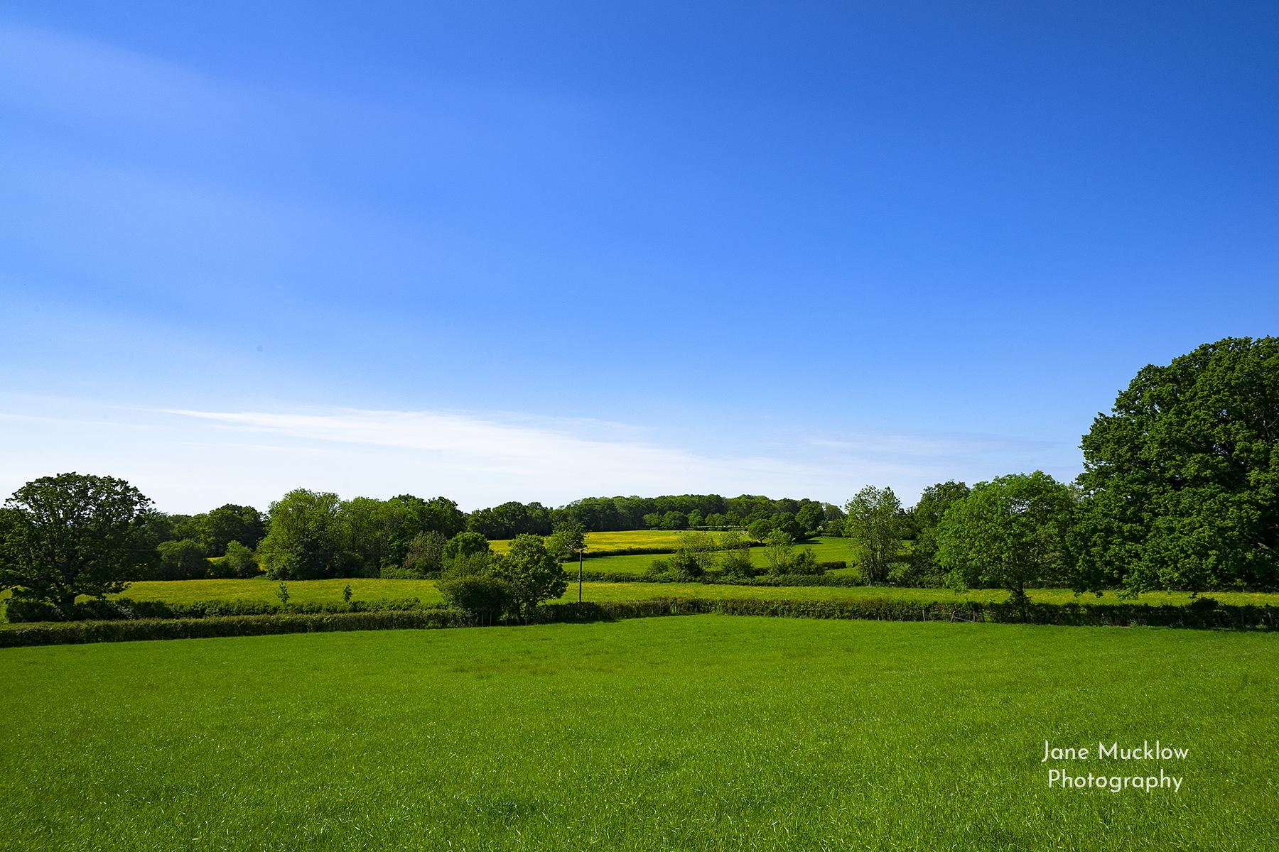 Photo by Jane Mucklow of a dandelion field view towards Sevenoaks, Kent, from near Underriver.