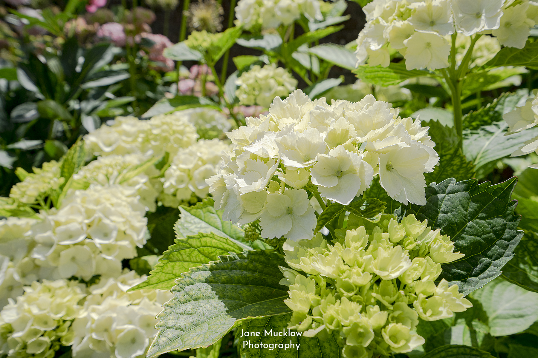 Photo of white hydrangea blooms by Jane Mucklow