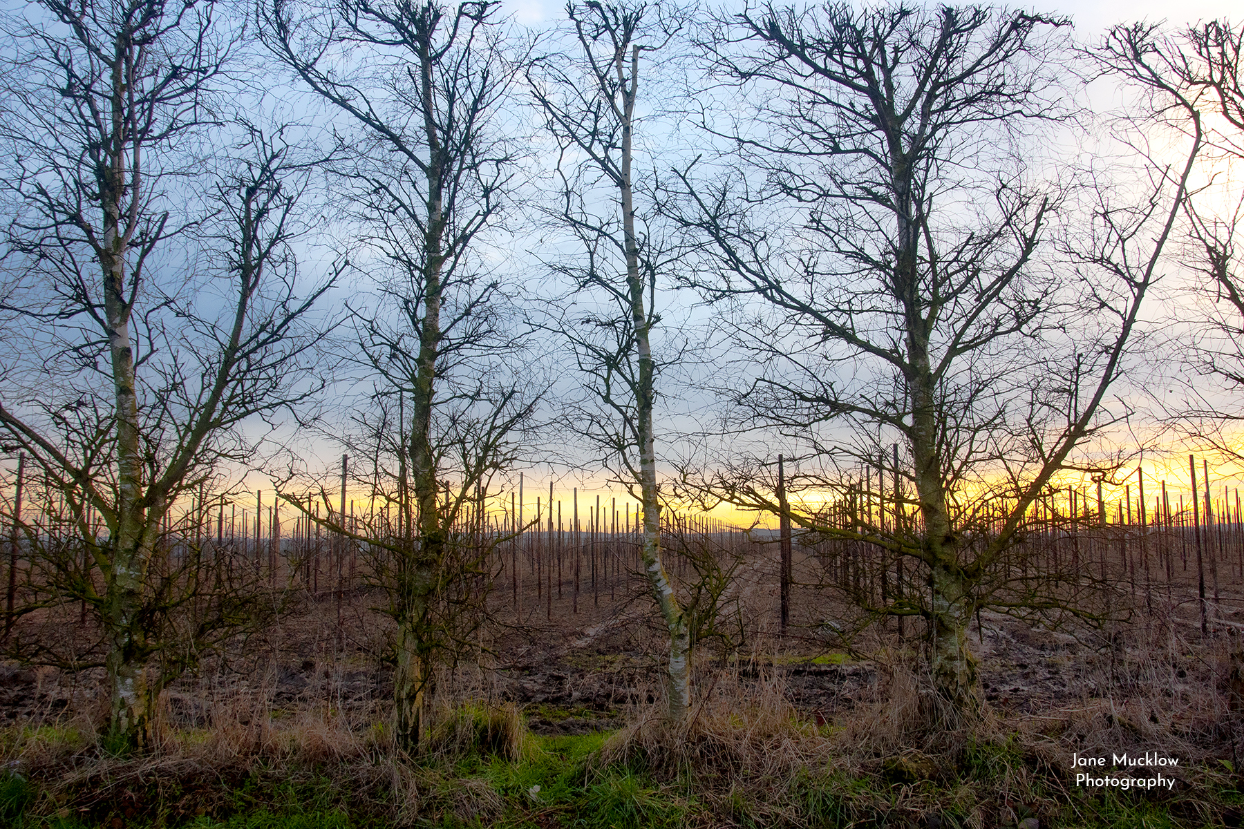 Photo by Jane Mucklow of a Winter sunset through the trees and orchard, Tonbridge