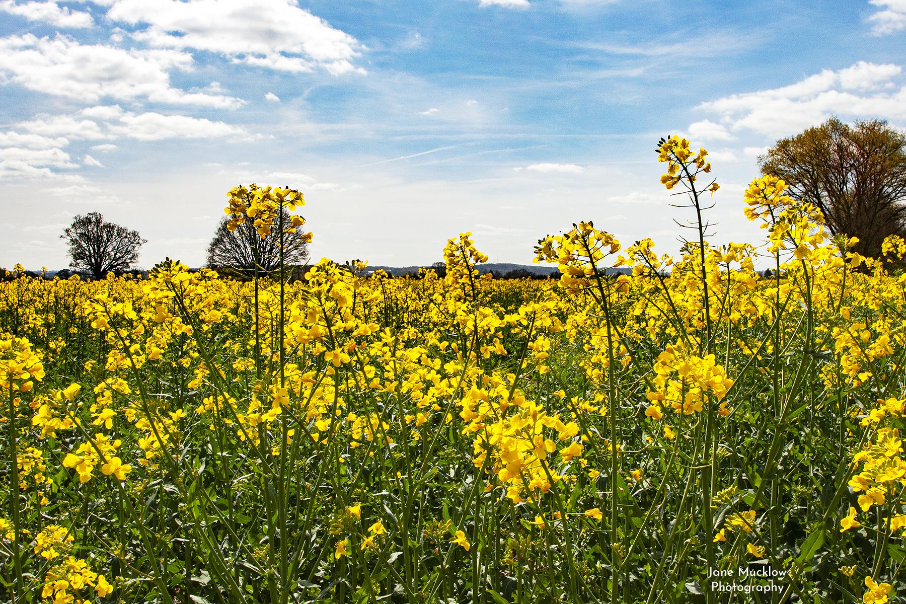 Photo by Jane Mucklow of an oilseed rape field in bloom, looking towards Tonbridge