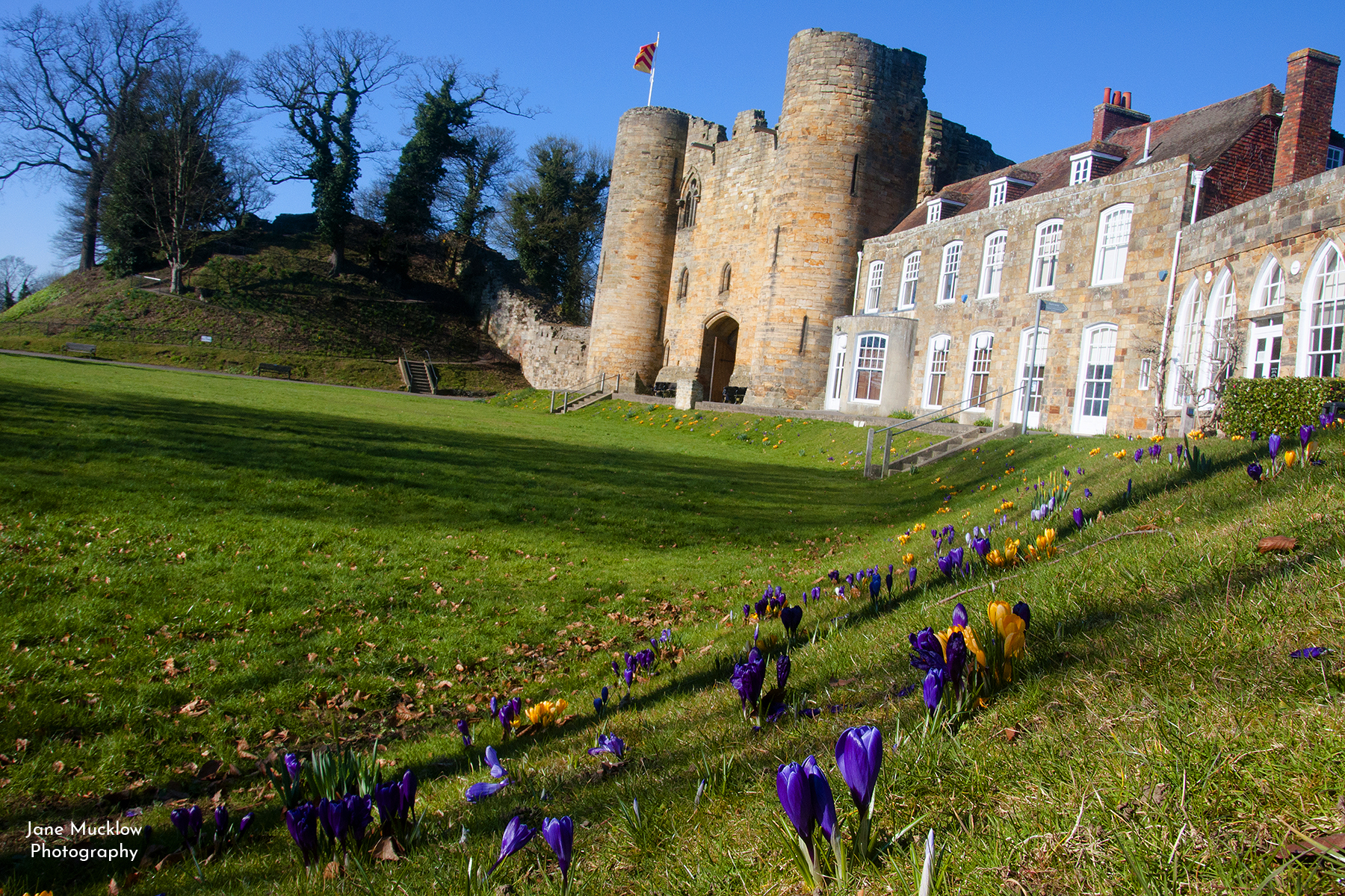 Photo by Jane Mucklow of Tonbridge Castle, crocuses on the lawn