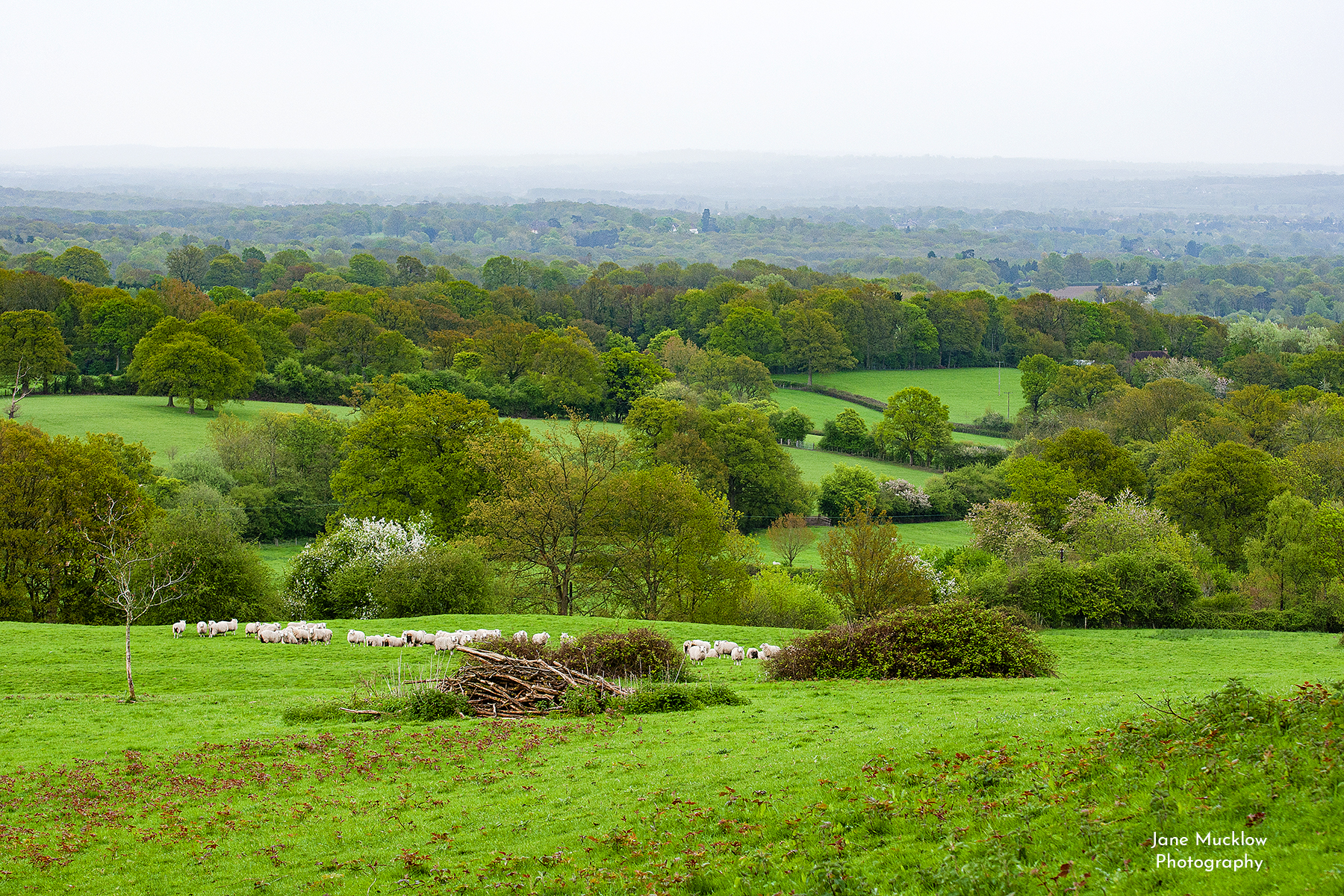 Photo by Jane Mucklow of a Spring view across sheep fields towards Tonbridge from Riverhill