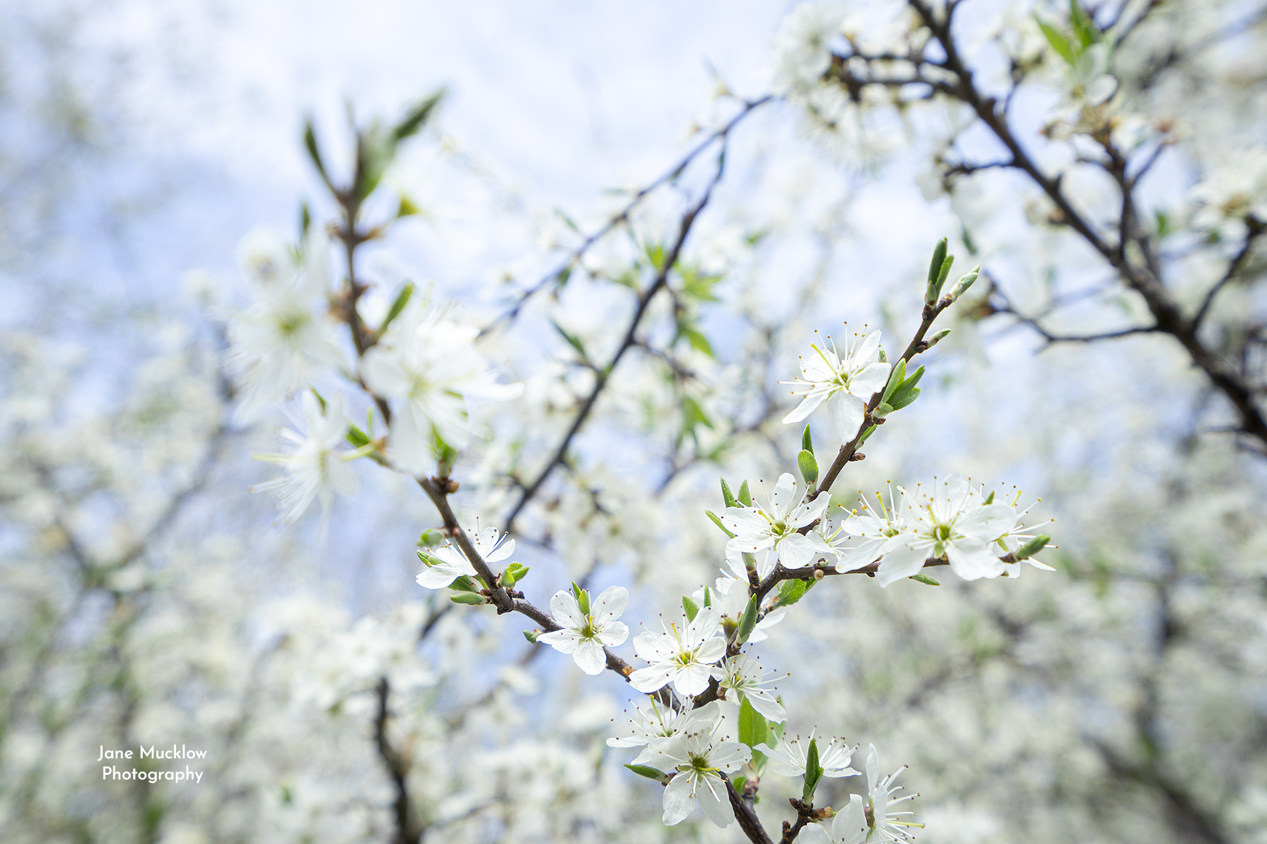 Photo of blackthorn blossom on blue sky by Jane Mucklow