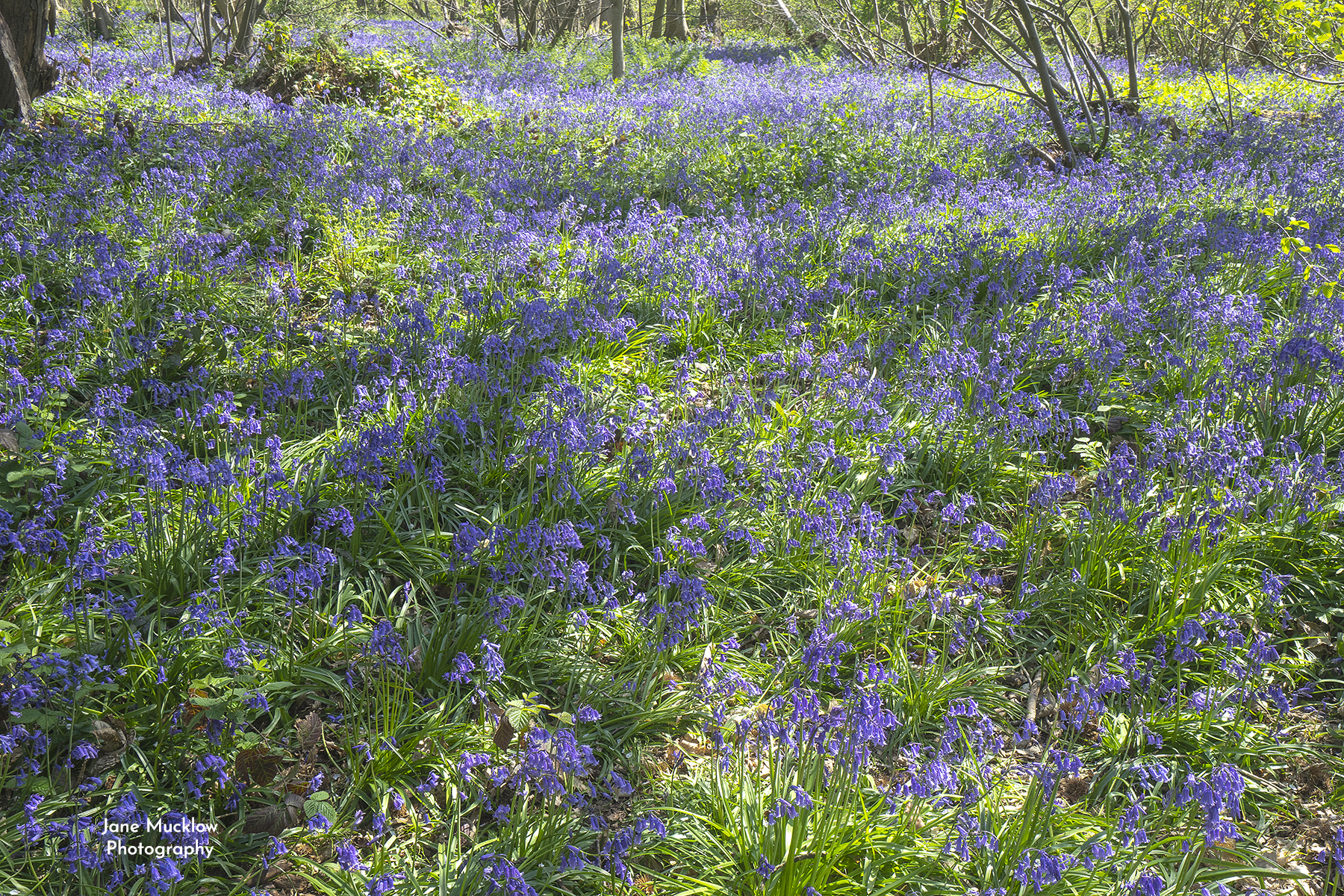 Photo of bluebells in Greenhill Wood Otford Kent by Jane Mucklow