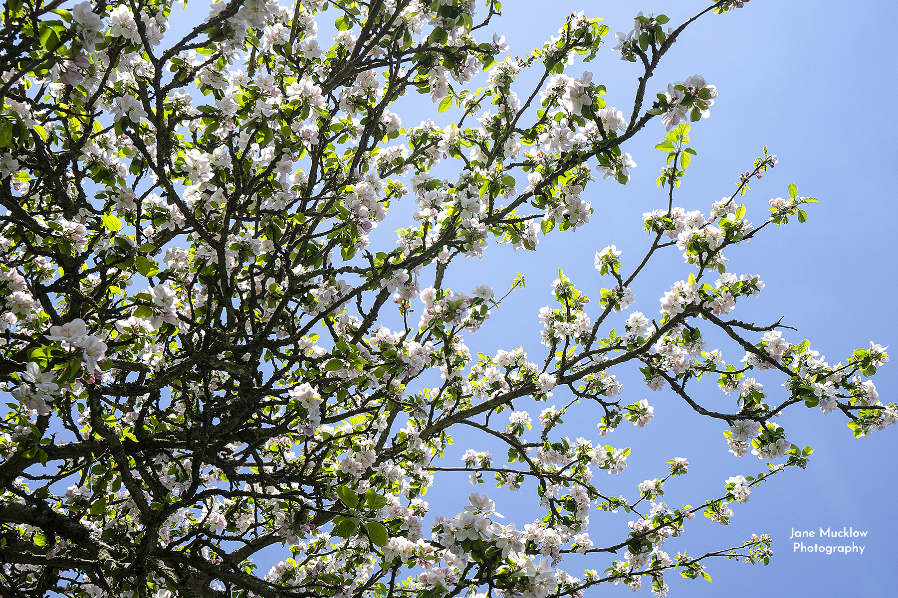 Photo looking up at Kent apple blossom by Jane Mucklow