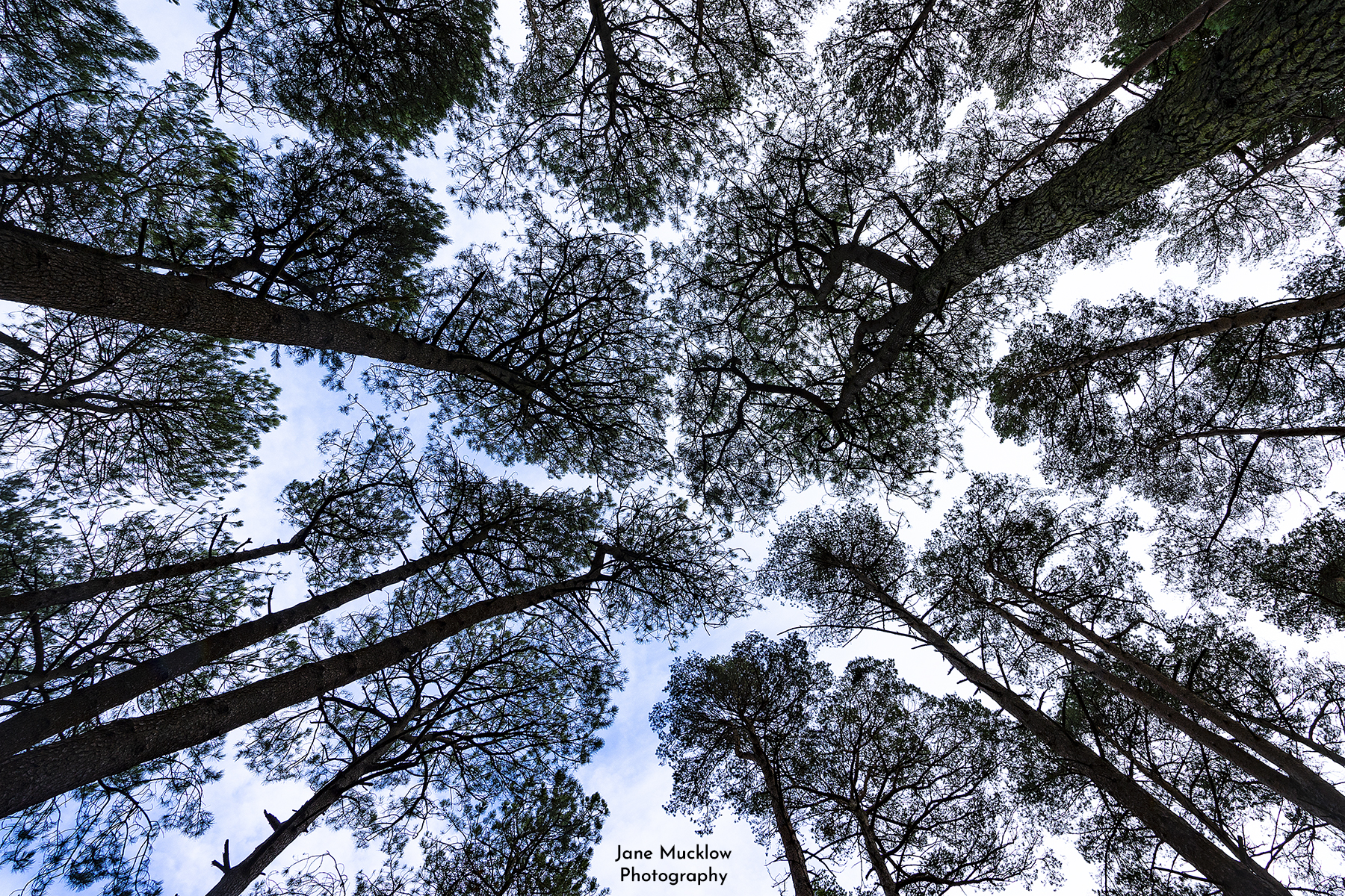 Photo looking up at the pine trees on Brownsea Island by Jane Mucklow
