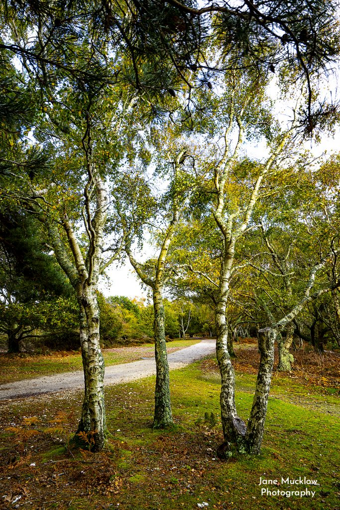 Photo of silver birch trees on Brownsea Island by Jane Mucklow