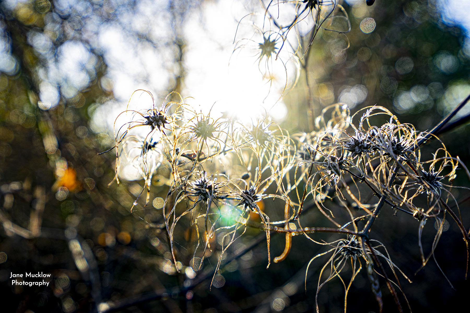 Photo of old man's beard in the winter sun at Lullingstone Kent by Jane Mucklow