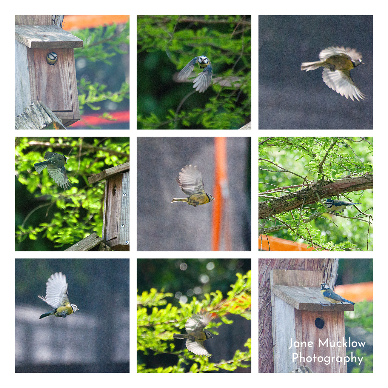 Photos of bluetits by Jane Mucklow, montage from the garden of nesting bluetits