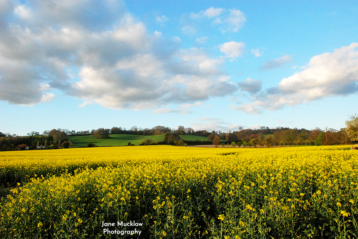 Photo of a rapefield, near Kemsing and Heaverham, by Jane Mucklow