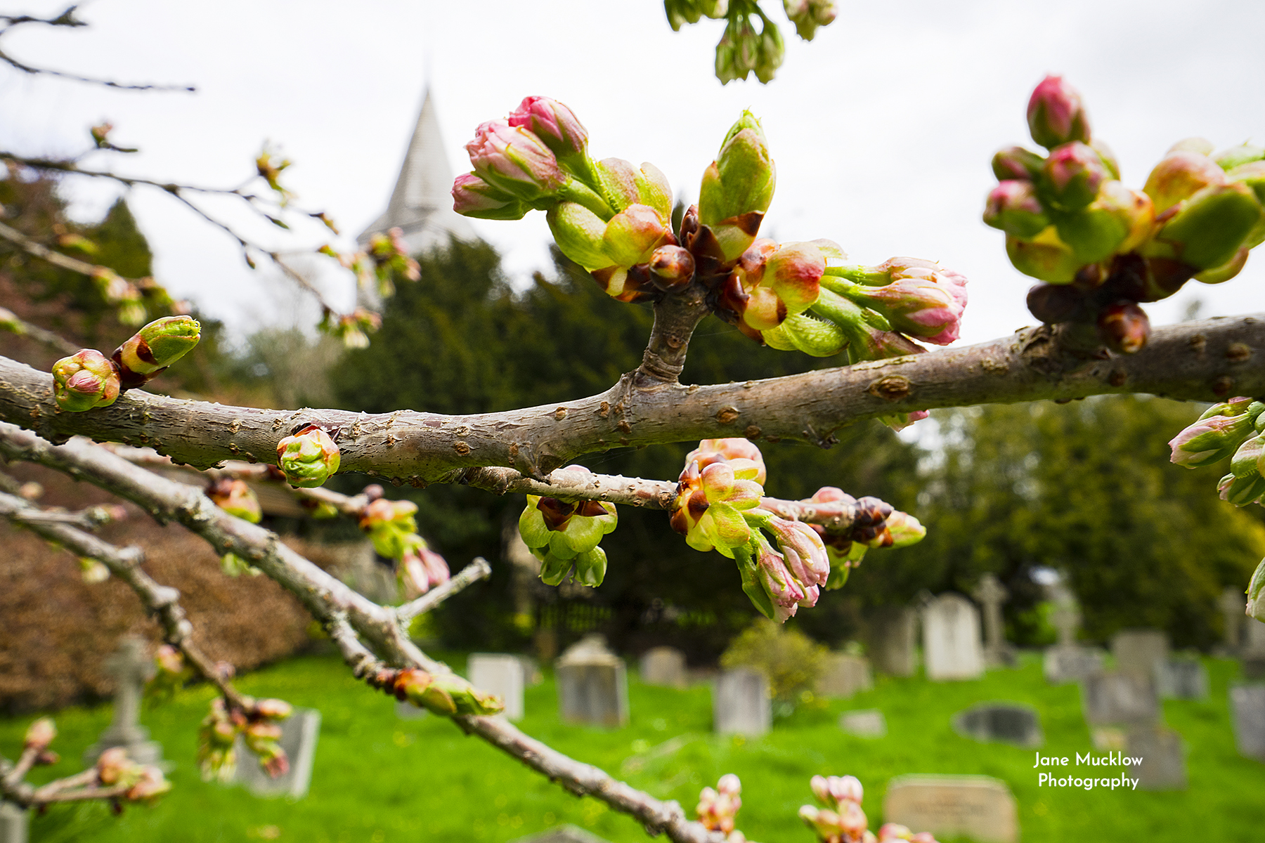 Photo of Kemsing church and blossom, by Jane Mucklow