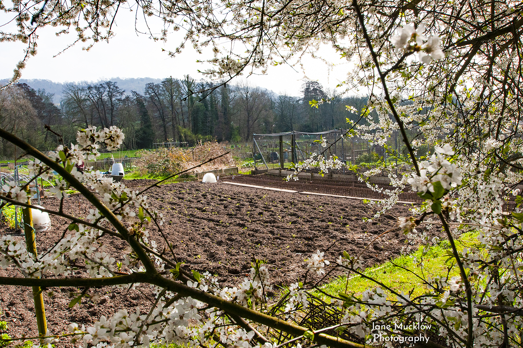 Photo of the Shoreham Allotments with blossom, by Jane Mucklow