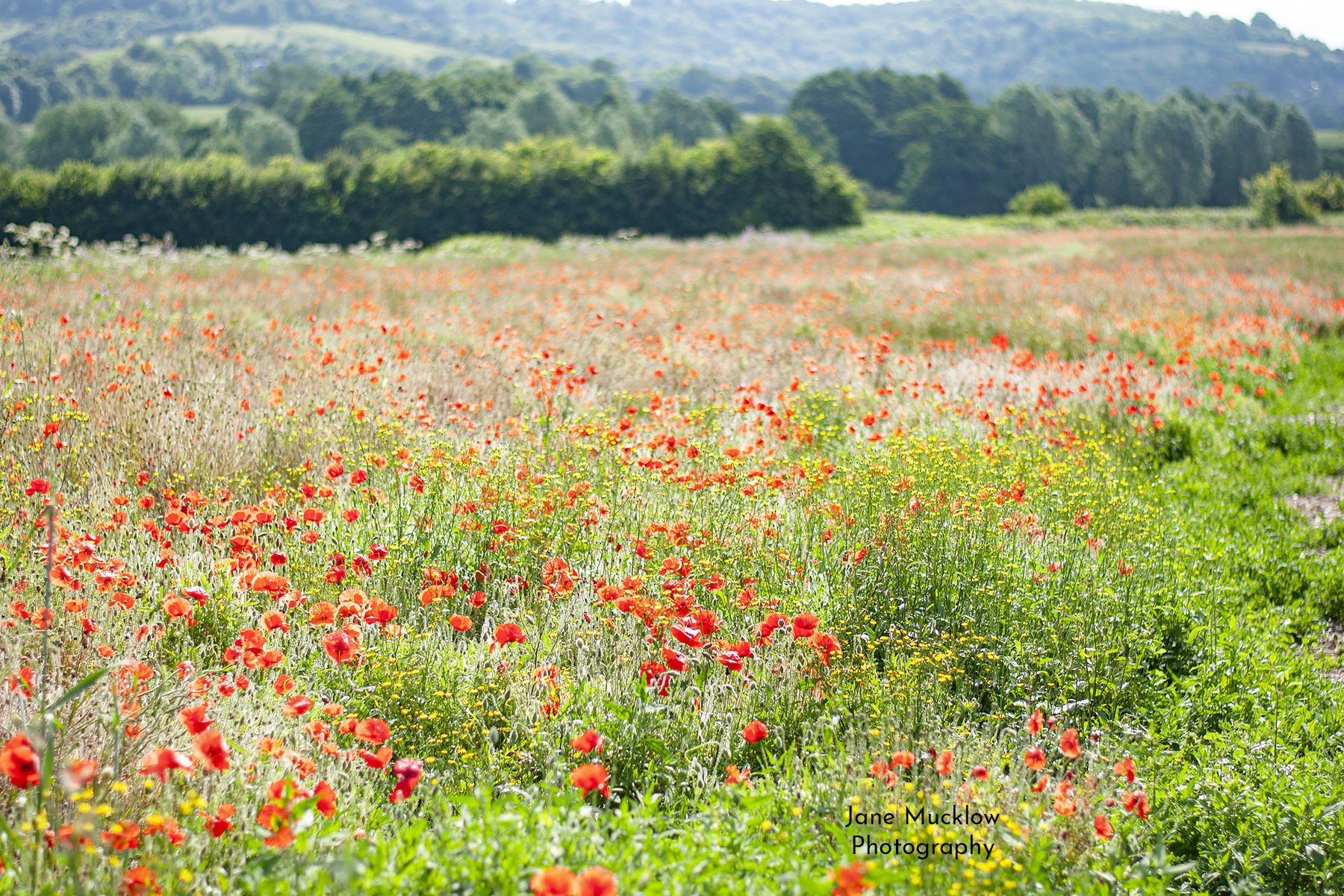 Photo of the poppy field between Otford and Shoreham, by Jane Mucklow
