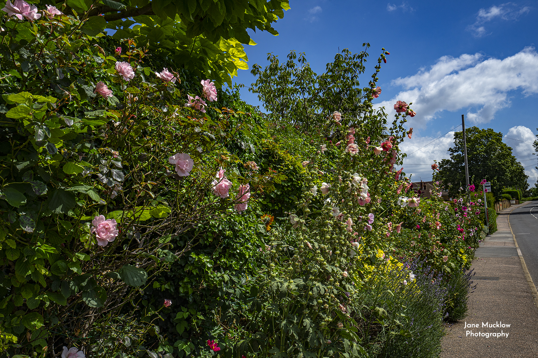 Photo of the late summer flowers on West End, Kemsing, by Jane Mucklow