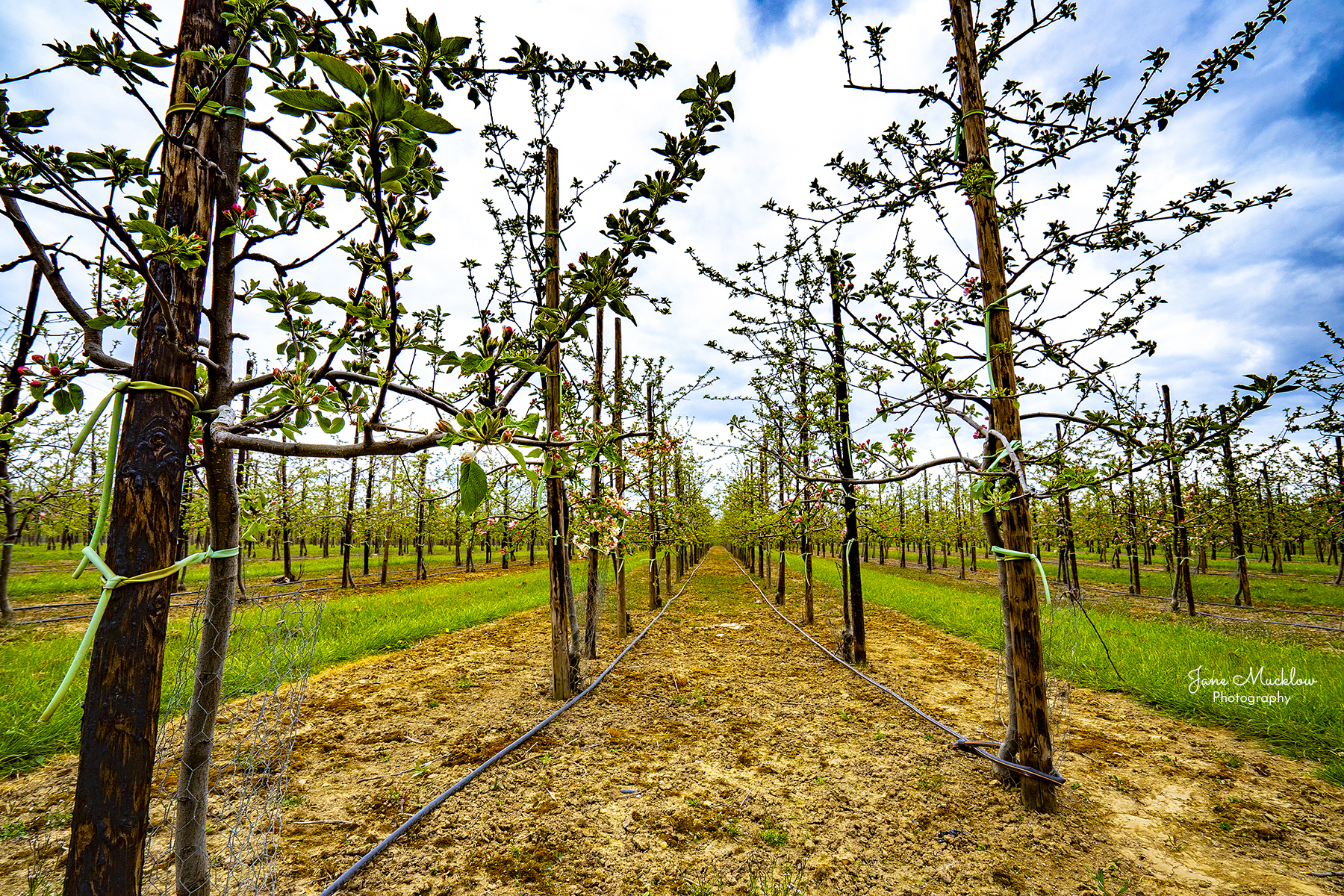 Photo of apple blossom in an orchard at Golden Green, by Jane Mucklow