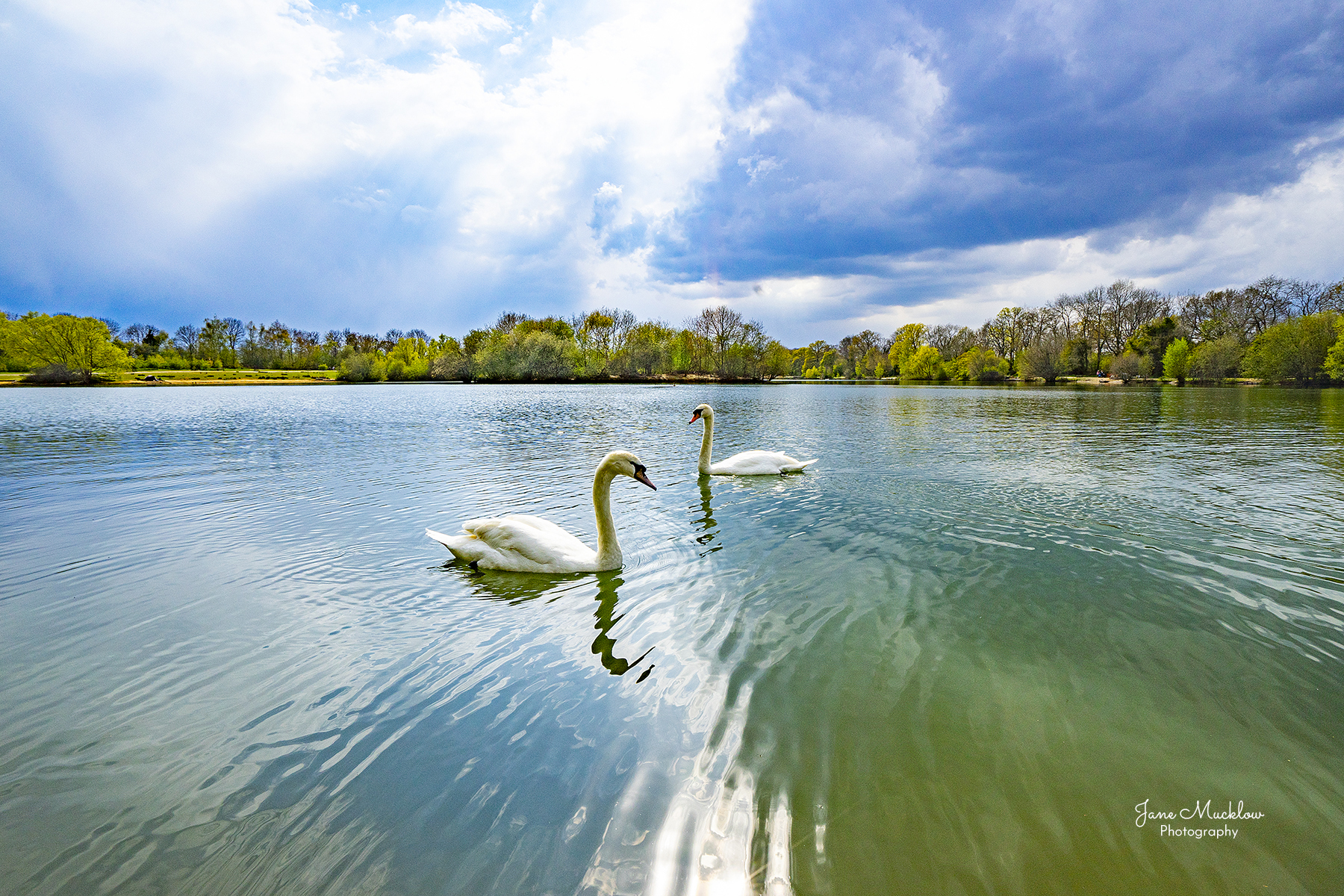 Photo of swans on a calm Barden Lake, with clouds, near Tonbridge, by Jane Mucklow