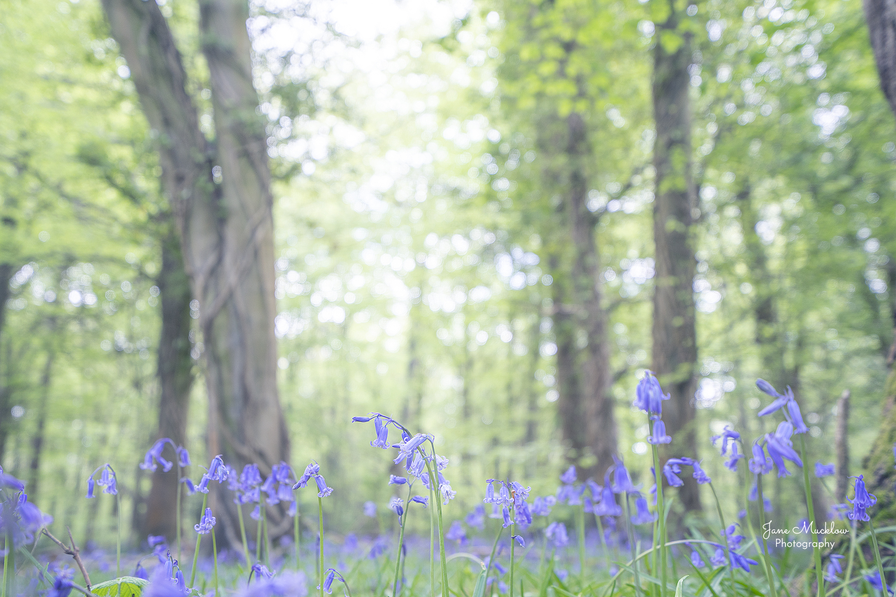 Photo of misty bluebells and trees in Dene Park, Tonbridge, by Jane Mucklow